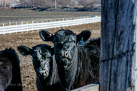 Angus Cattle at Circle E Ranch-6