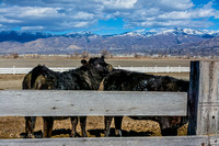 Angus Cattle at Circle E Ranch-7
