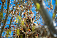 Great Horned Owl-April 2015-1