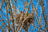 Great Horned Owl-Feb 2015-1