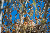 Great Horned Owl-April 2015-2
