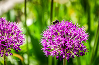 Bee Enjoying Purple Allium Flower-1