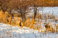 Deer Within the Golden Hour Beauty-6
