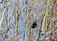 Red Winged Blackbird-April2012-128