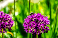 Purple Sensation Allium Flower-1