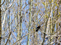 Red Winged Blackbird-April2012-123