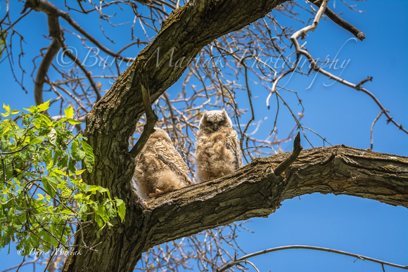 Great Horned Owlets-3