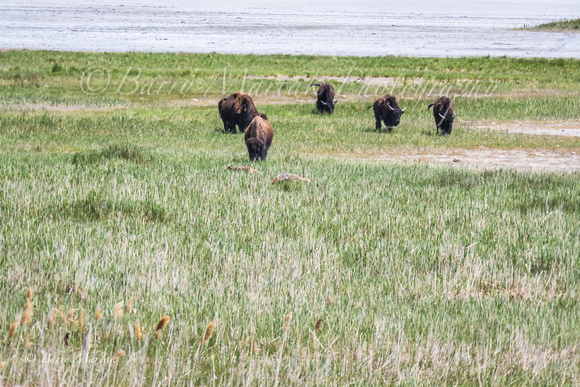Adult Bisons Approaching Coyotes-1