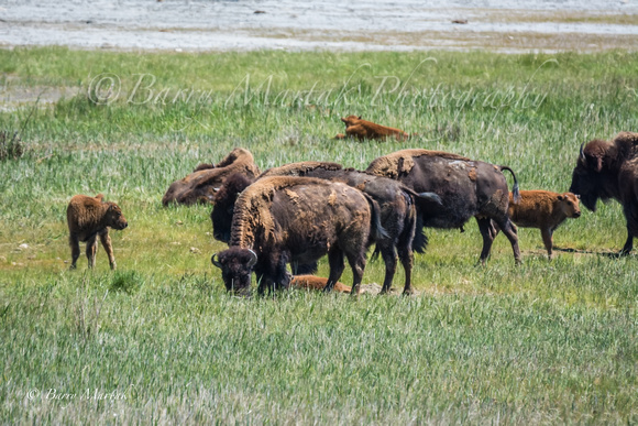Bison and calves on Antelope Island-10