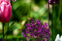 Bee Enjoying Purple Allium Flower-3